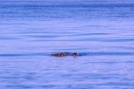 eine verfrüht ankommende Schilkröte, war ca. 70 cm groß